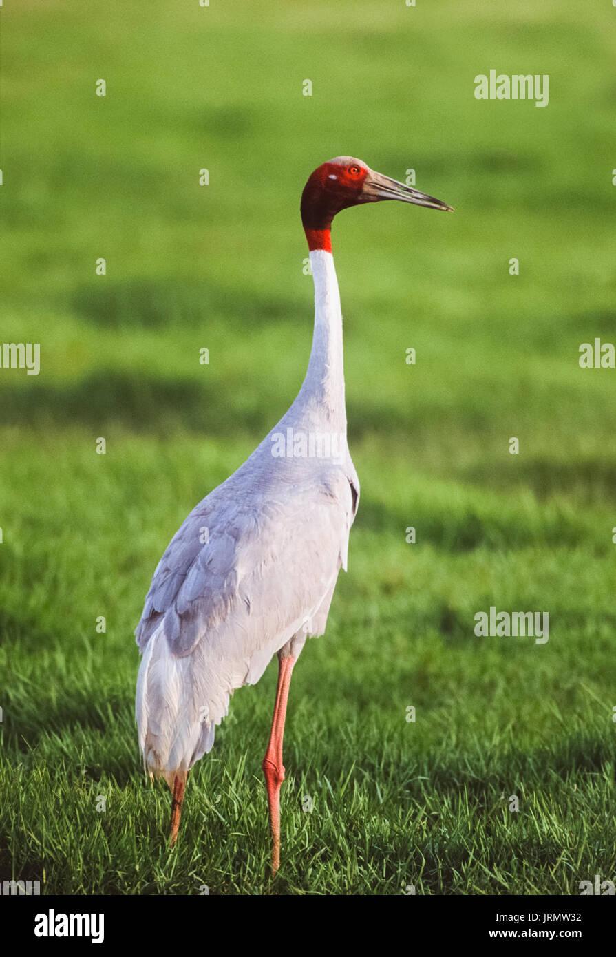 Sarus Crane,(Antigone antigone), Keoladeo Ghana National Park, Bharatpur, Rajasthan, India - Stock Image
