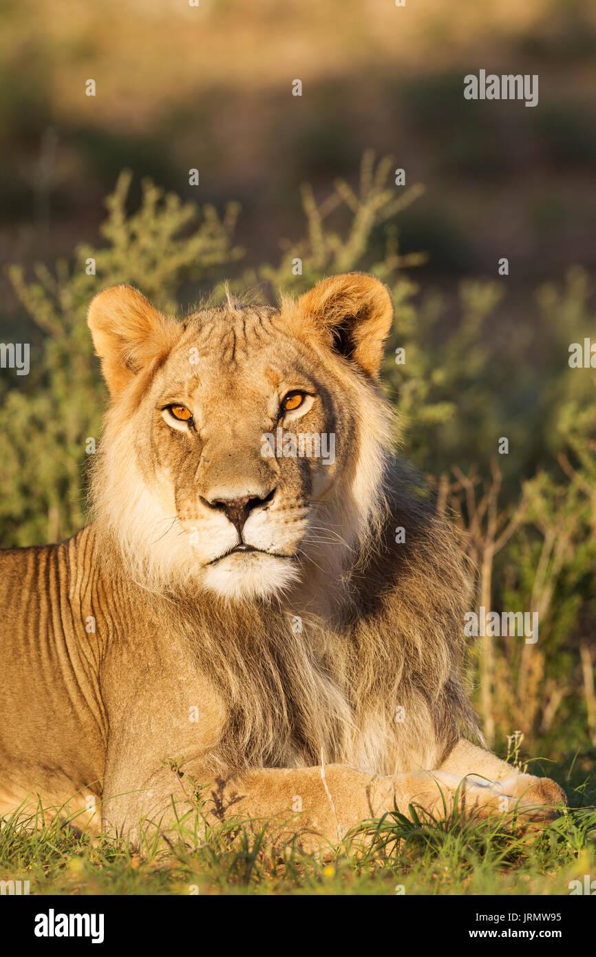 Lion (Panthera leo), male, resting, portrait, Kalahari Desert, Kgalagadi Transfrontier Park, South Africa - Stock Image