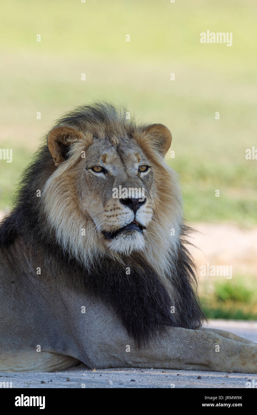 Lion (Panthera leo), black-maned Kalahari male, resting, rainy season with green surroundings, portrait, Kalahari Desert - Stock Image