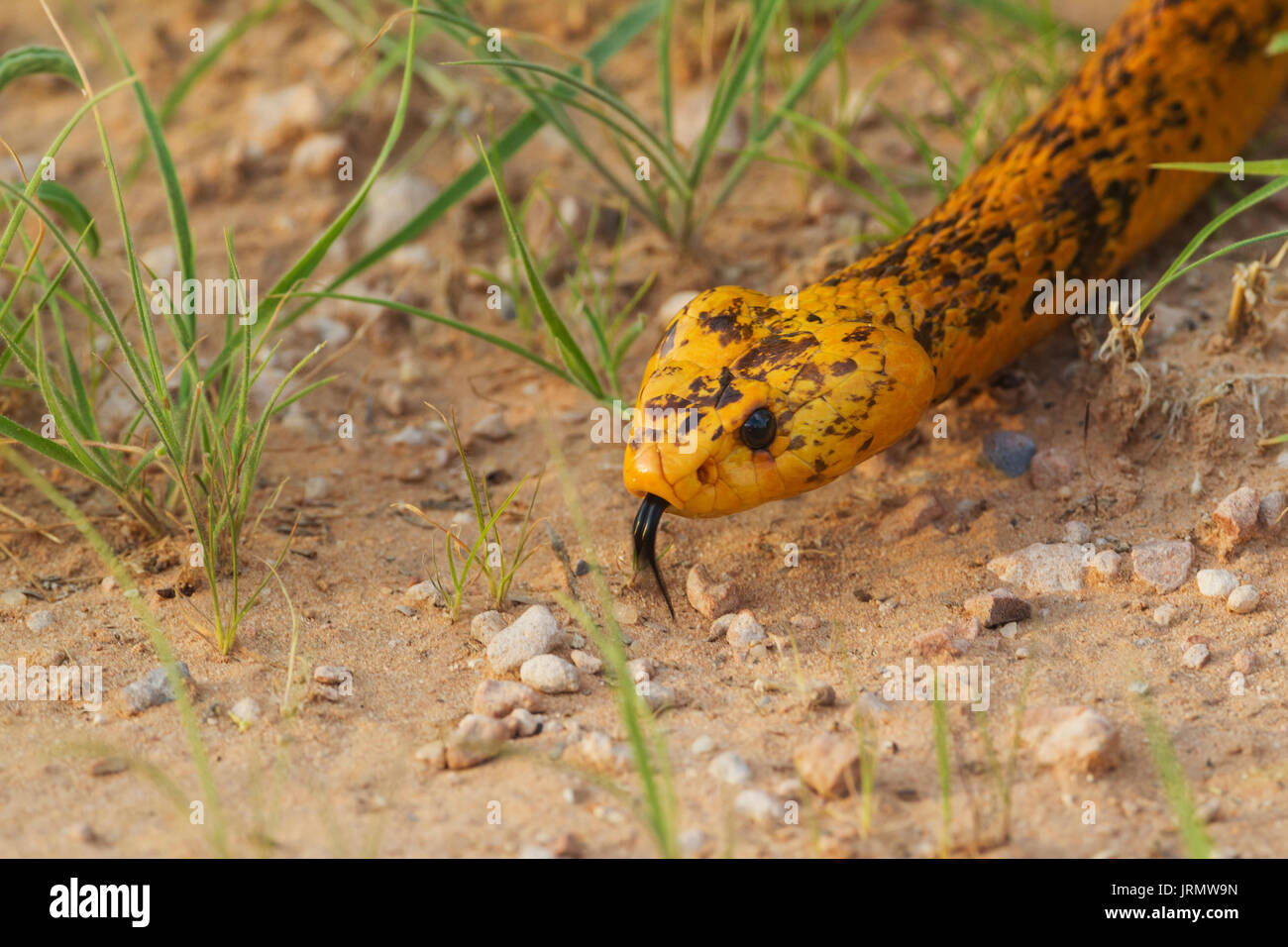 Cape Cobra (Naja nivea), sticking out tongue, during the rainy season in green grass, Kalahari Desert - Stock Image