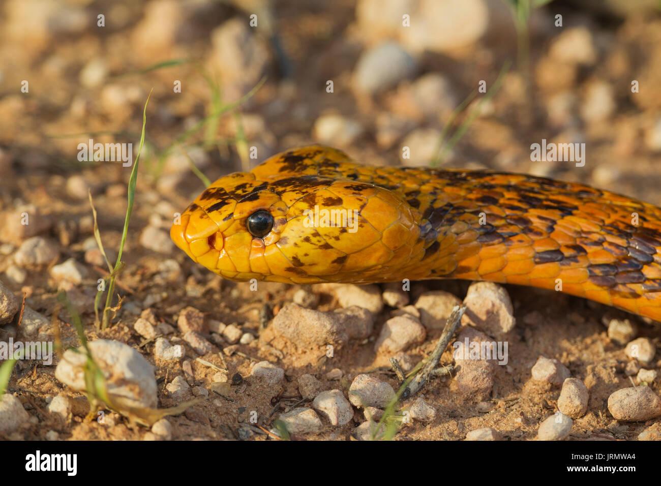 Cape Cobra (Naja nivea), Kalahari Desert, Kgalagadi Transfrontier Park, South Africa - Stock Image