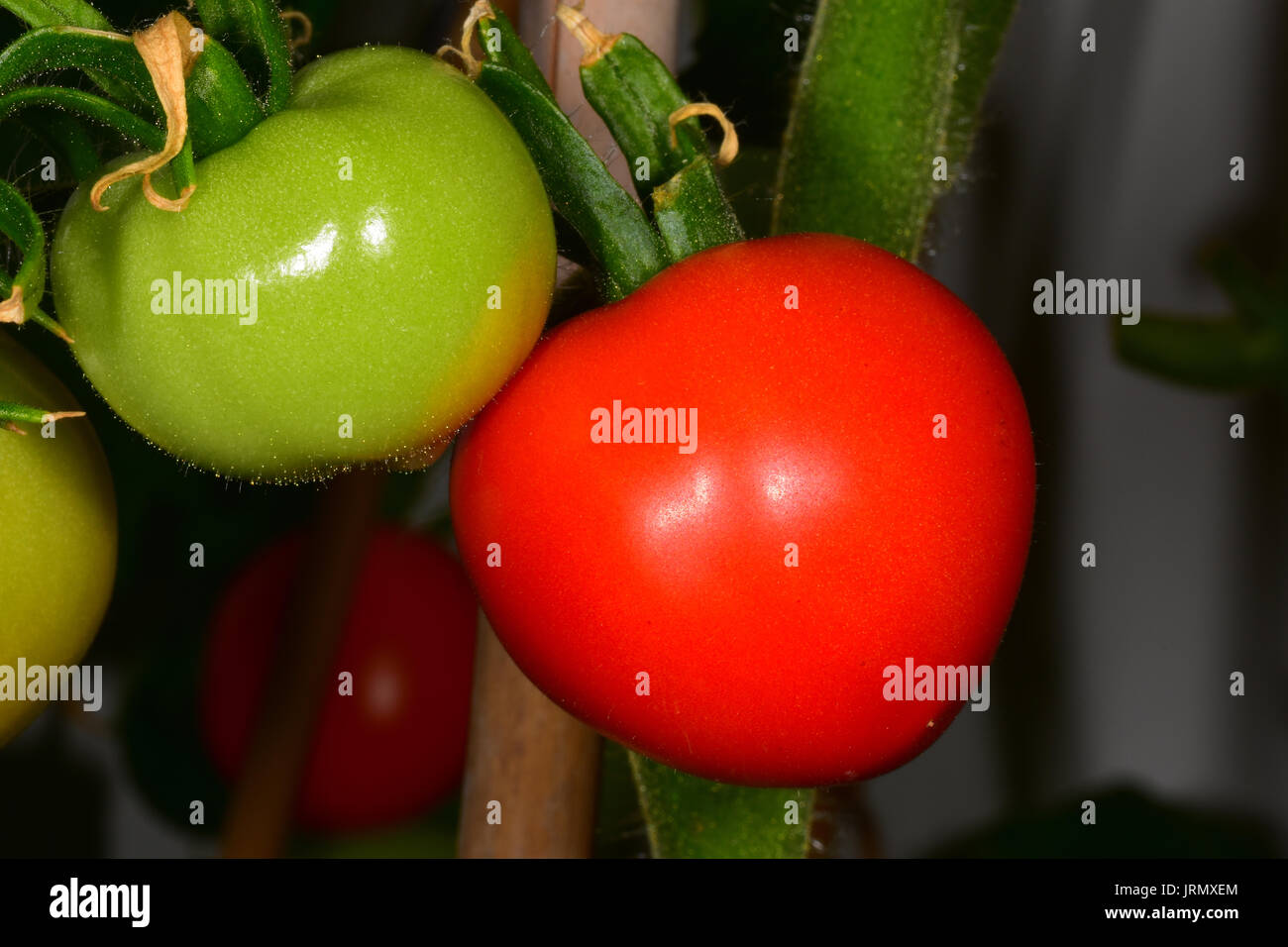 Tomato growing on a vine - Stock Image