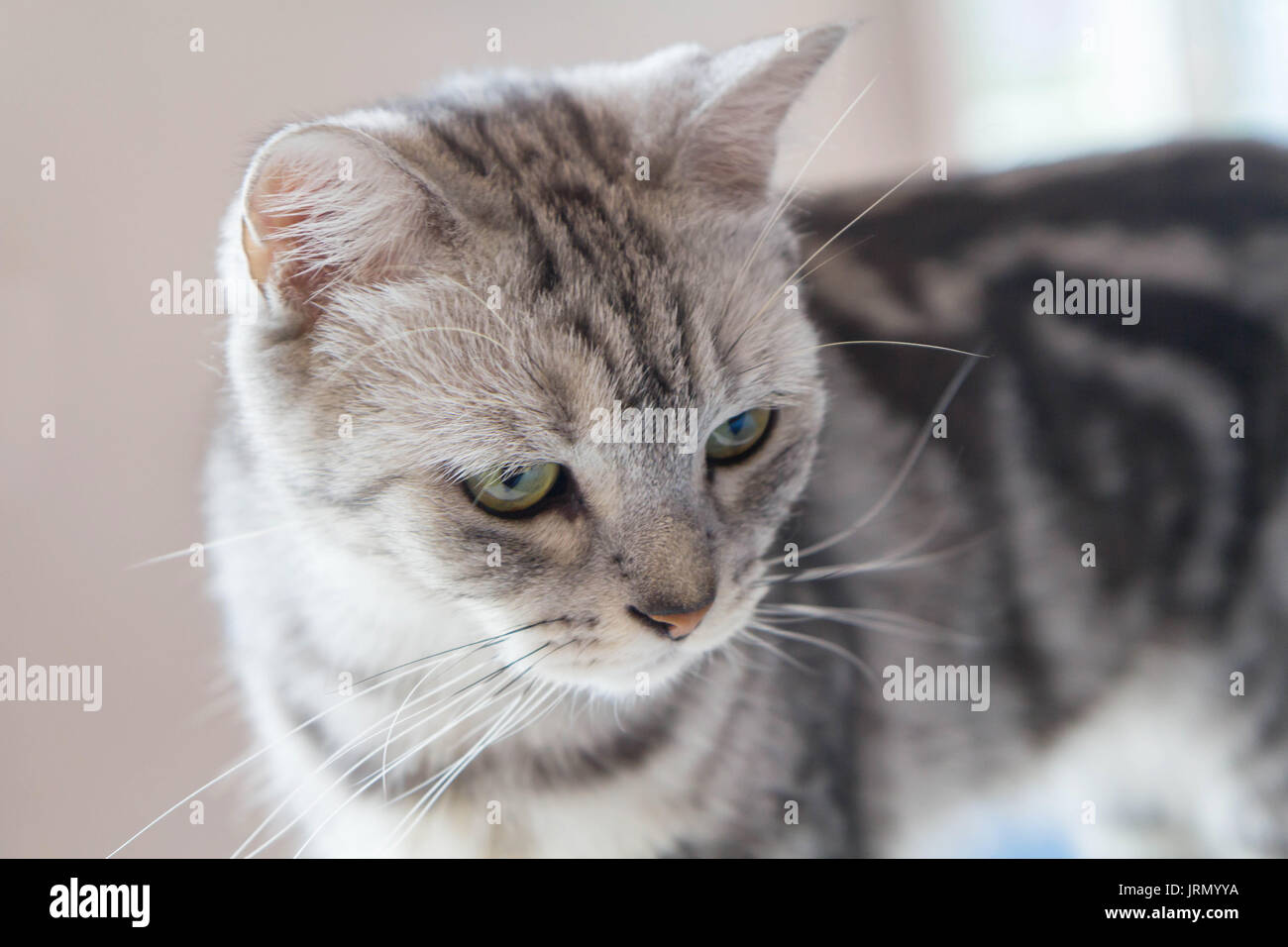 American Shorthair Stock Photos & American Shorthair Stock Images ...