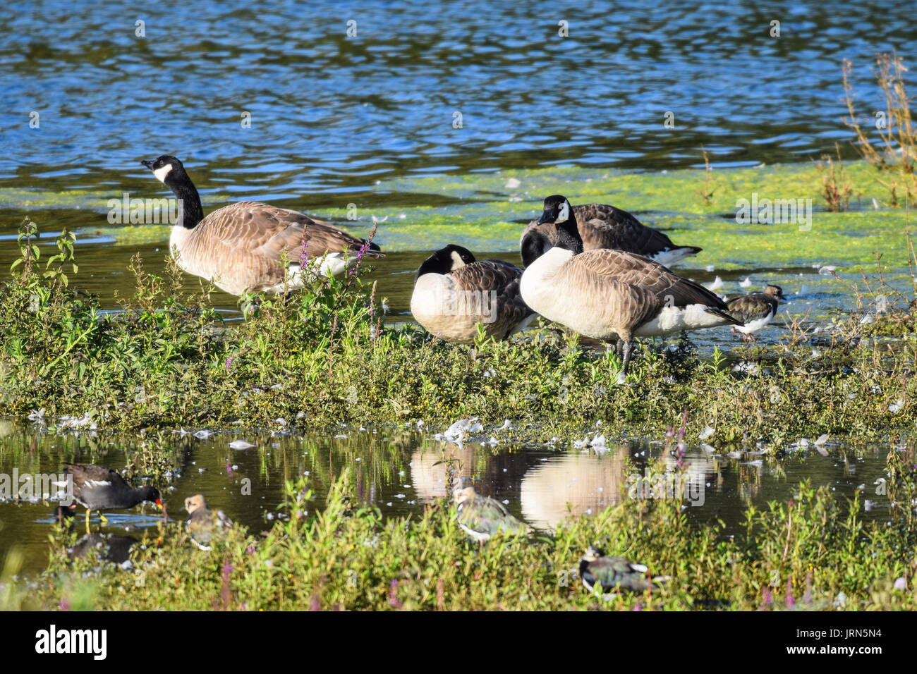 Lapwing wildlife bird with moorhen and Canada geese in shallow water in summer Stock Photo