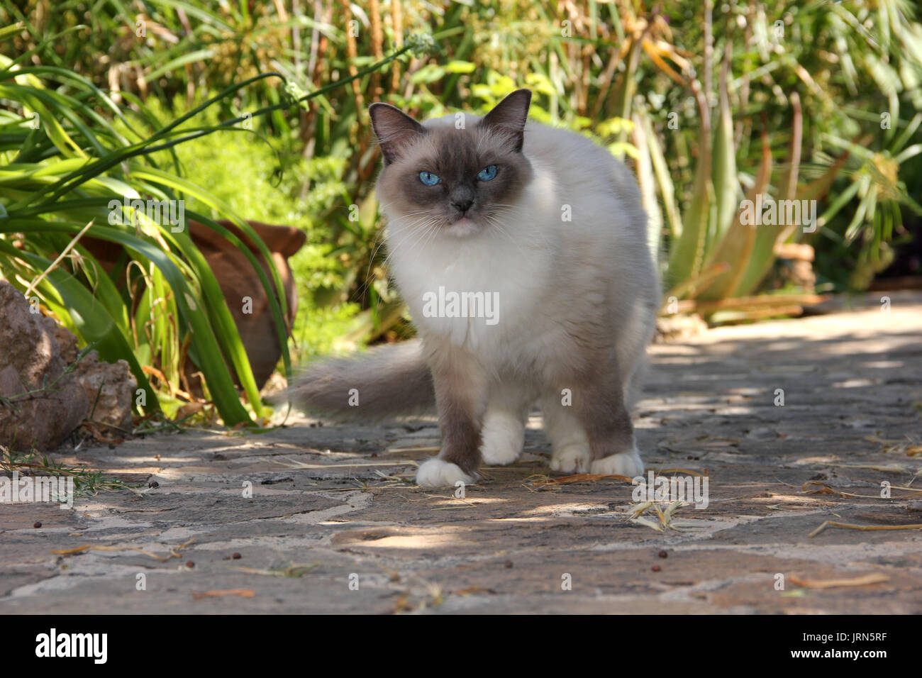 domestic cat, ragdoll, standing on a garden path with mediterranian plants - Stock Image