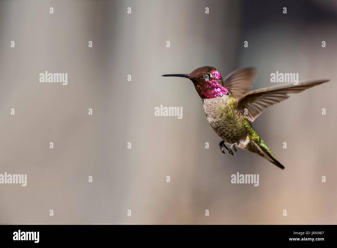 Anna's Hummingbird - Stock Image