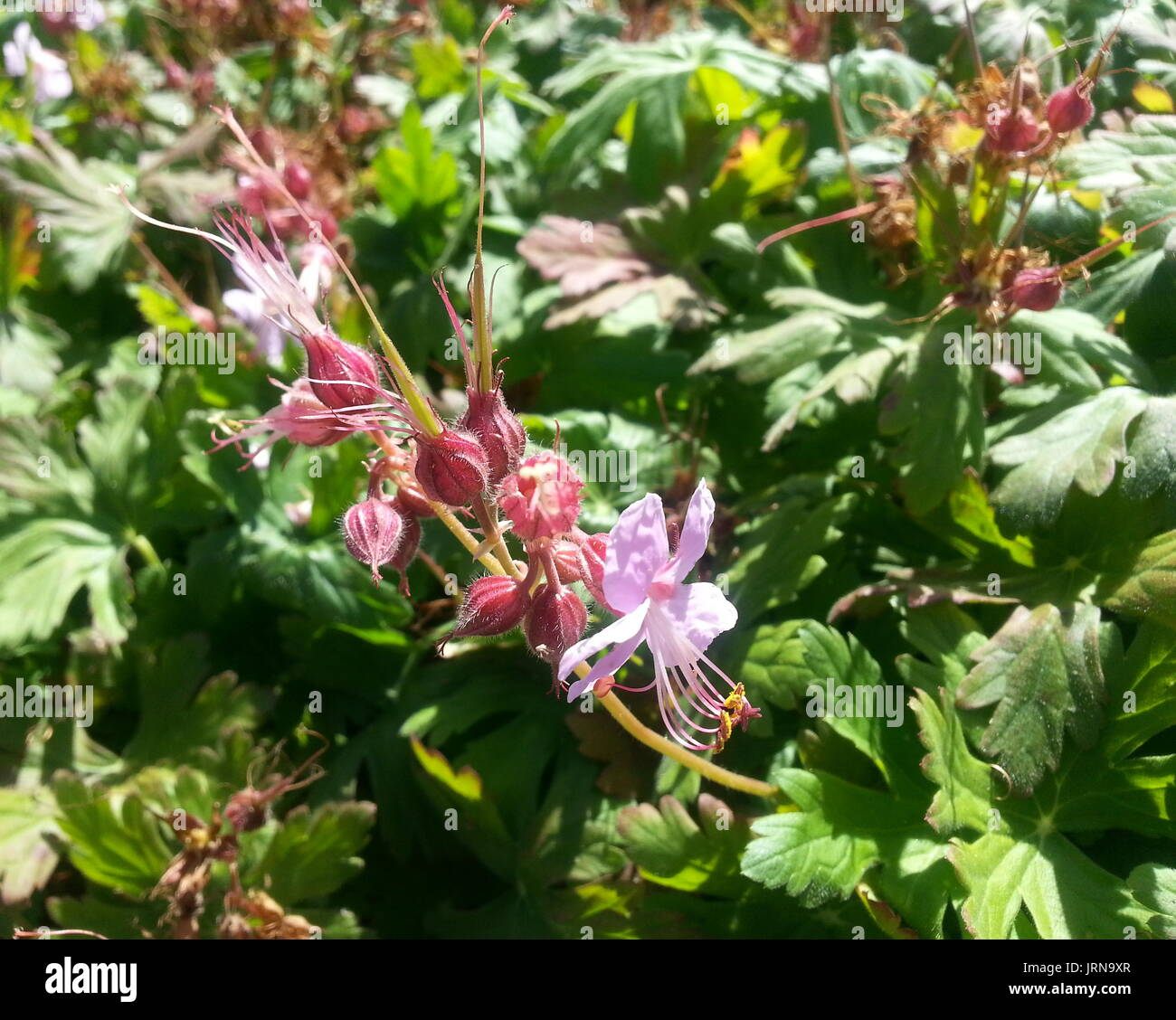 Pink Bush Flowers - Stock Image