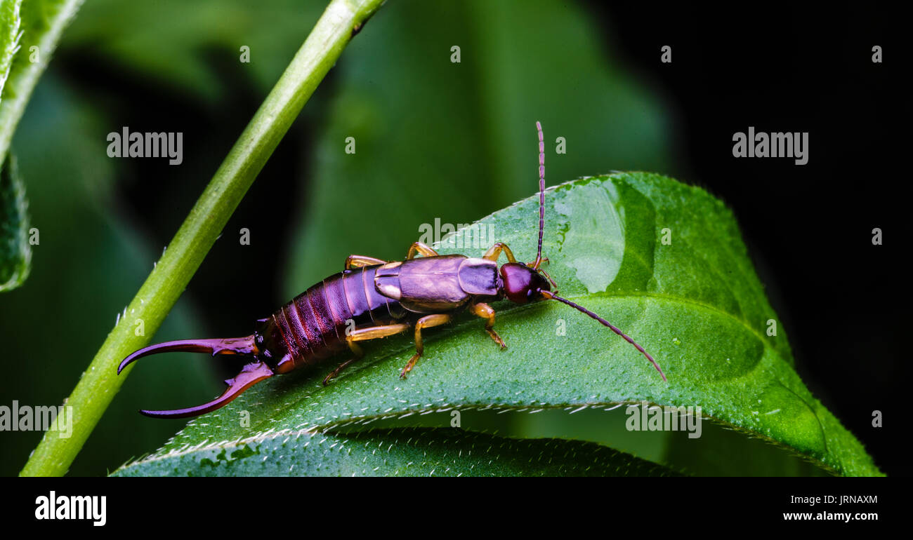 Earwig bug with six legs and large pincers sits on a green leaf in a backyard flower garden - Stock Image