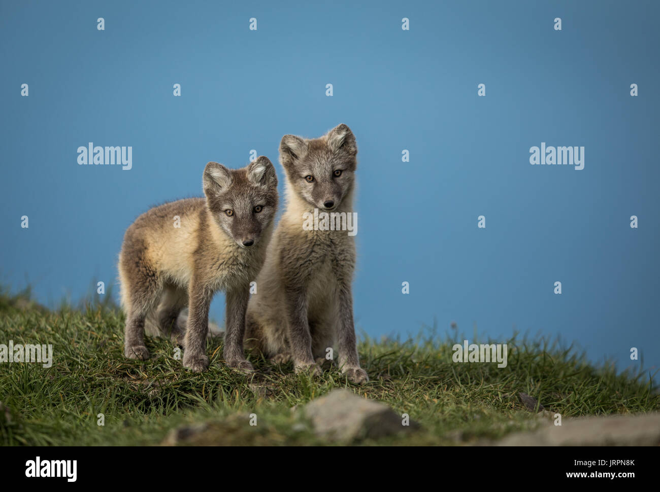 Arctic fox two cubs standing on grass with blue sky above, Svalbard - Stock Image
