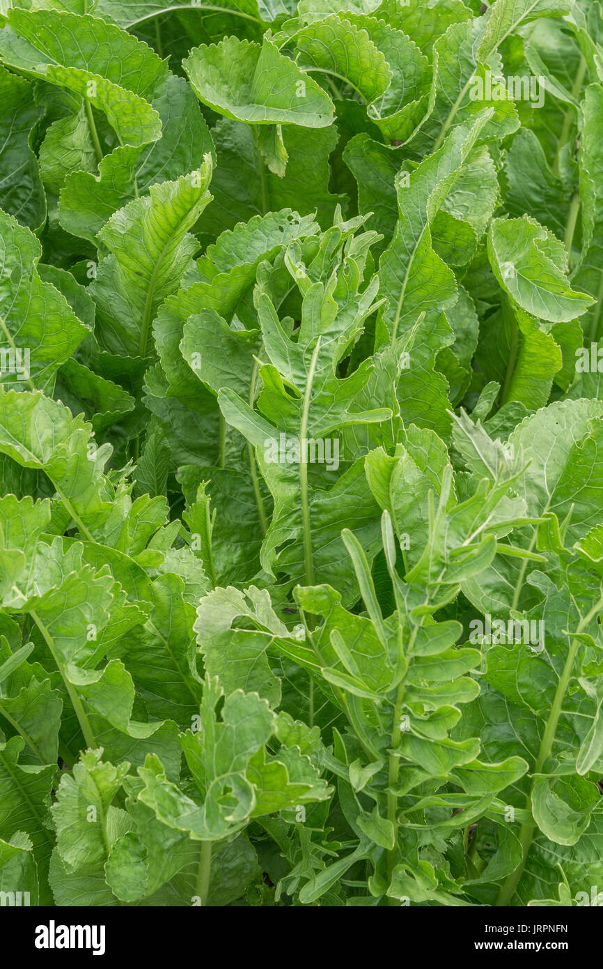 Green foliage of Horseradish / Armoracia rusticana - mustardy flavoured like the roots. Eaten with beef and formerly used in herbal / folk remedies. - Stock Image