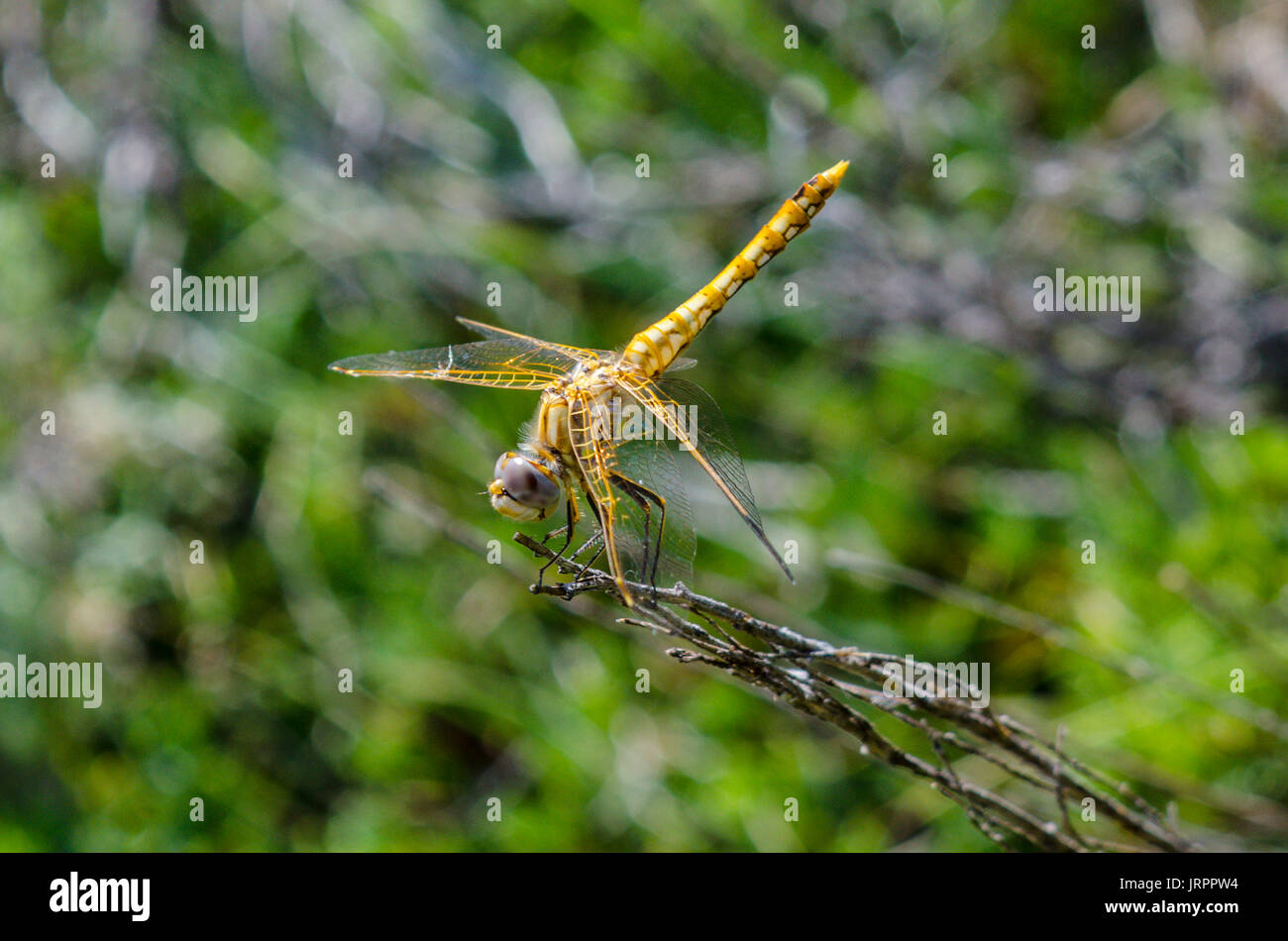 A Variegated Meadowhawk near Mount Lassen California - Stock Image