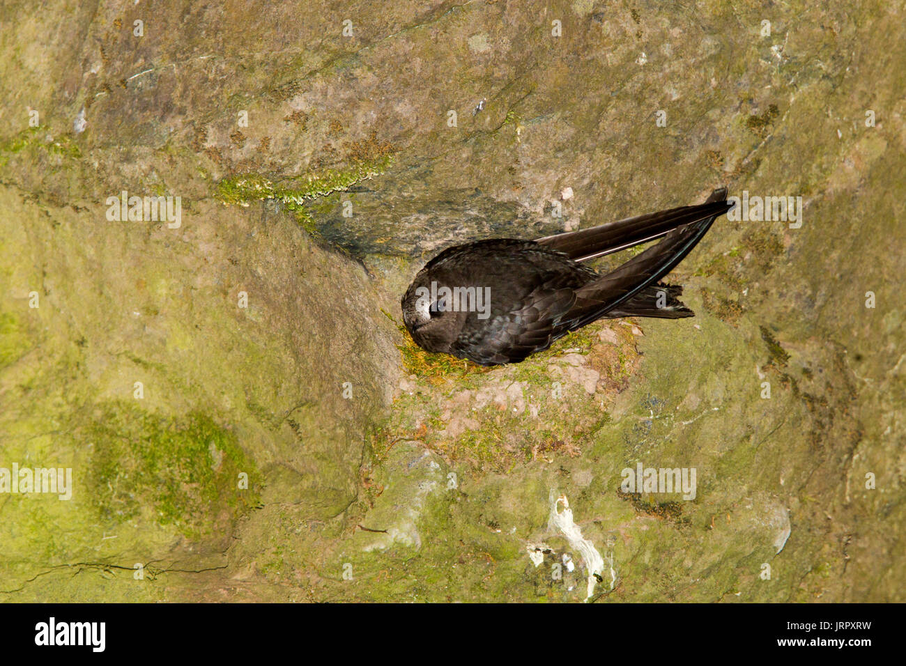 Black Swift  Cypseloides niger Box Canyon Falls, Ouray County, Colorado, United States 29 June 2017      Adult on nest.       	Apodidae - Stock Image
