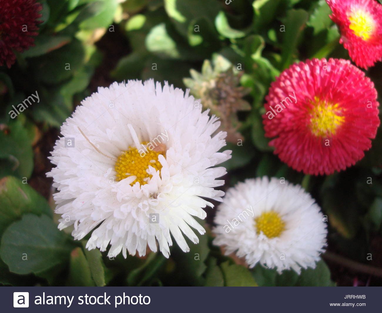 Plants and flowers two colored daisies stock photo 152338967 alamy plants and flowers two colored daisies izmirmasajfo