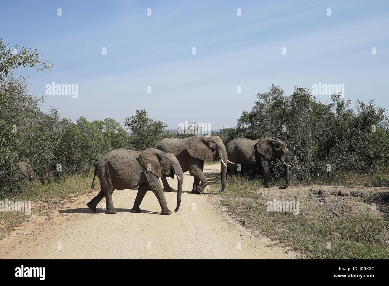 African Elephant Kruger National Park - Stock Image