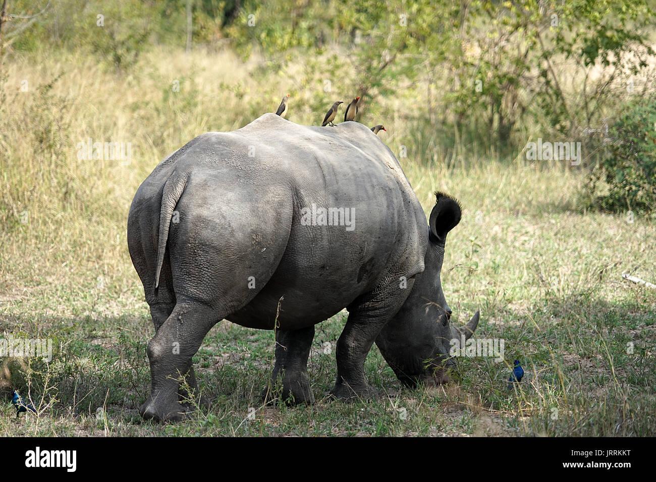 white Rhino in the Krueger National Park Stock Photo