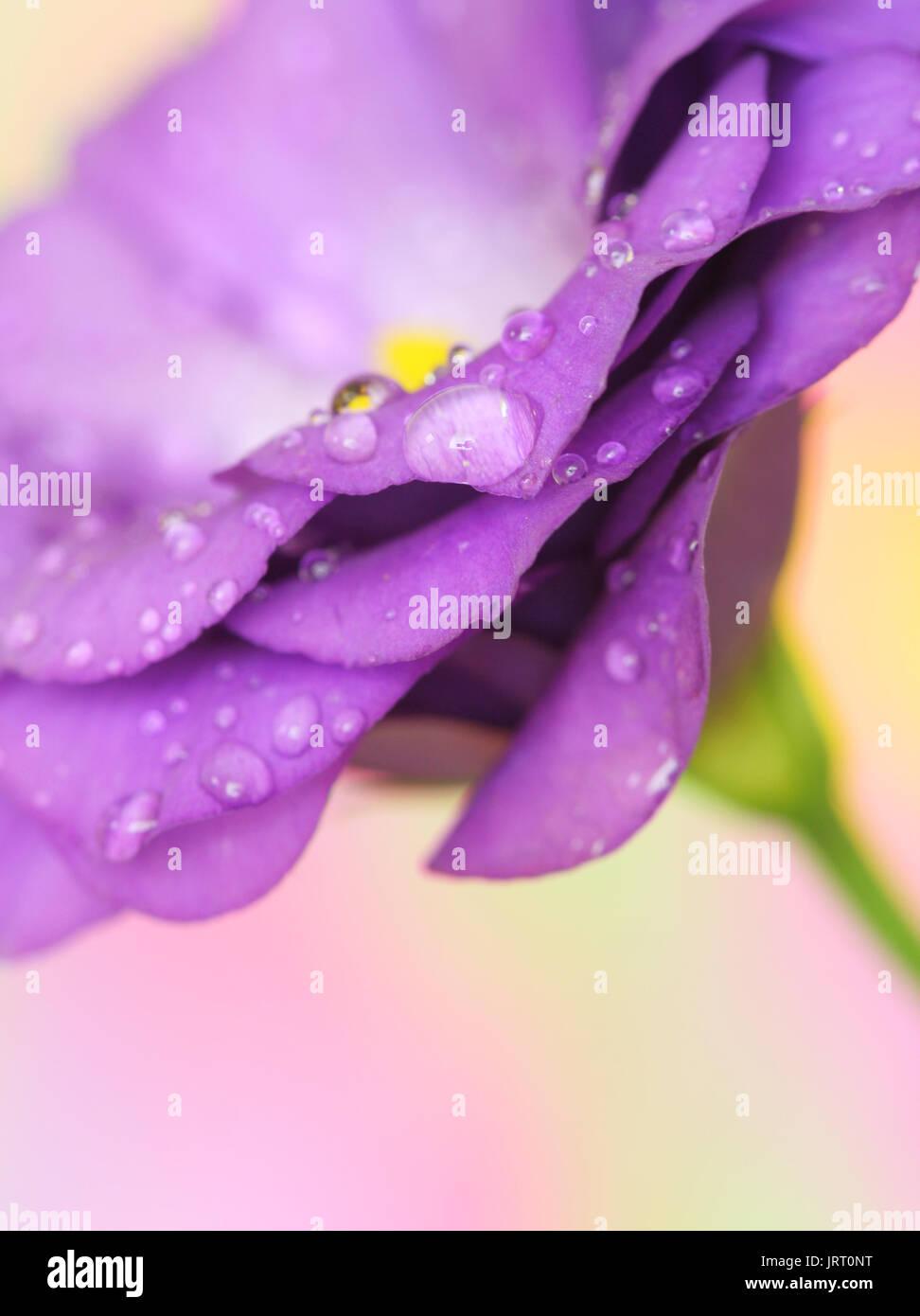 Close-up of  lisianthus flower on pastel background - Stock Image