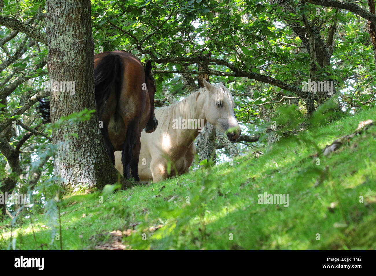 Wild ponies in the shade on a hot day in Wales - Stock Image