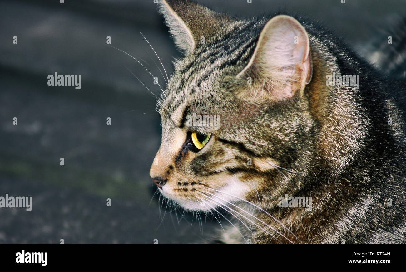 Close up side view of an isolated female tabby cat - Stock Image