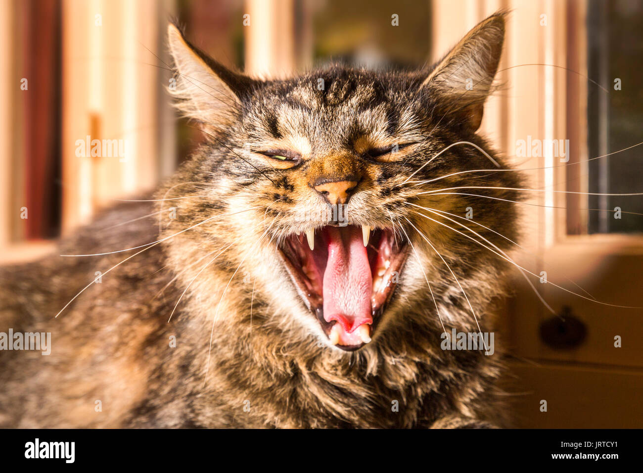 Close up of yawning, contented tortoiseshell cat, sitting on the back of the sofa in front of windows. - Stock Image