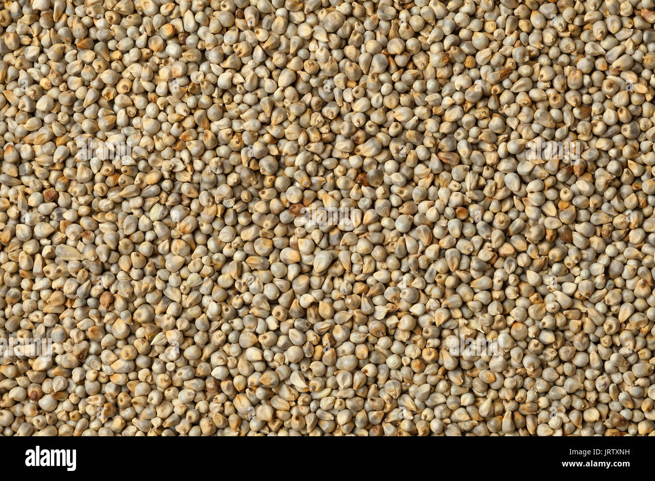 Pearl millet close up full frame - Stock Image