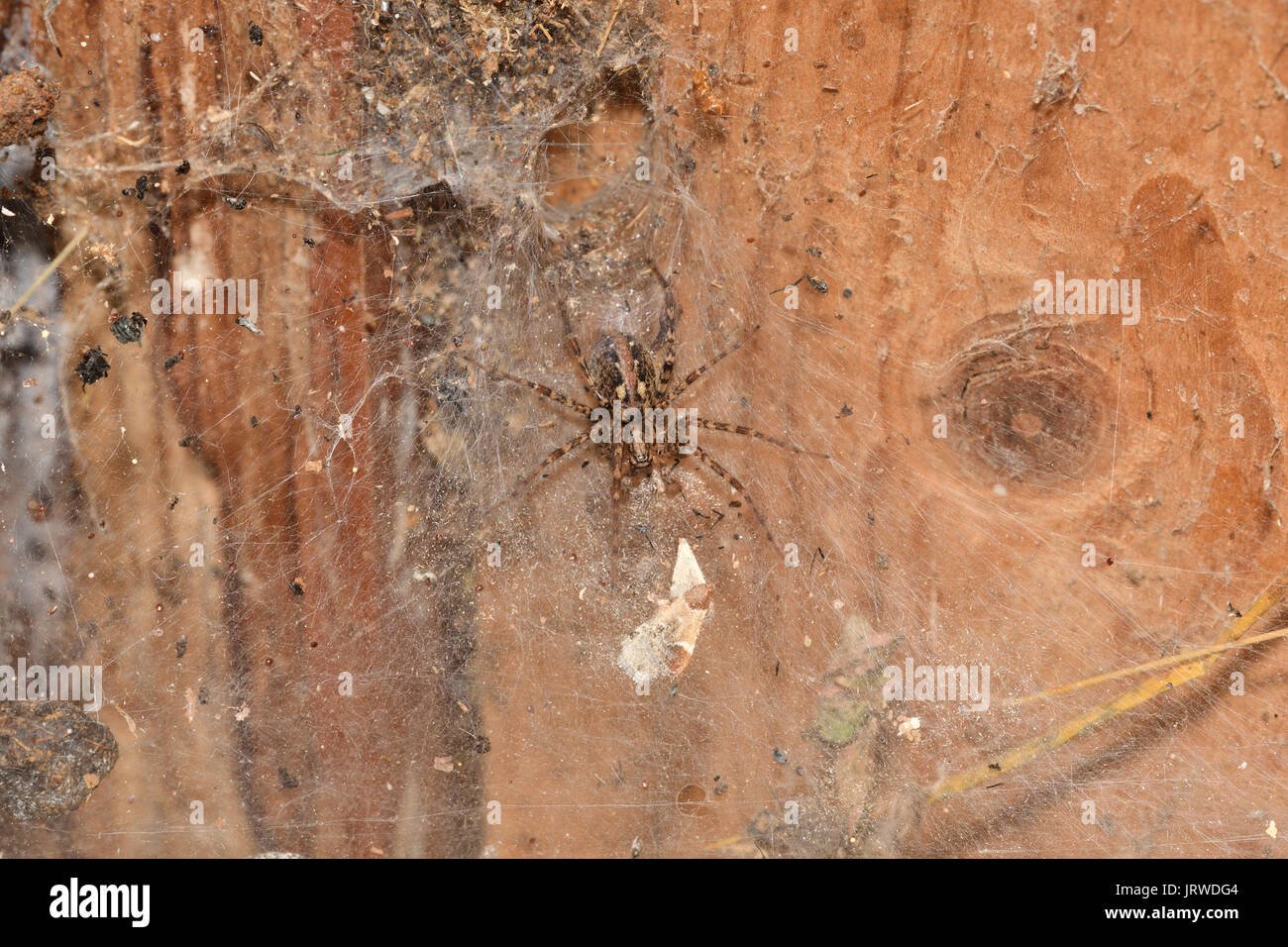 spider spinds his web in the net - Stock Image