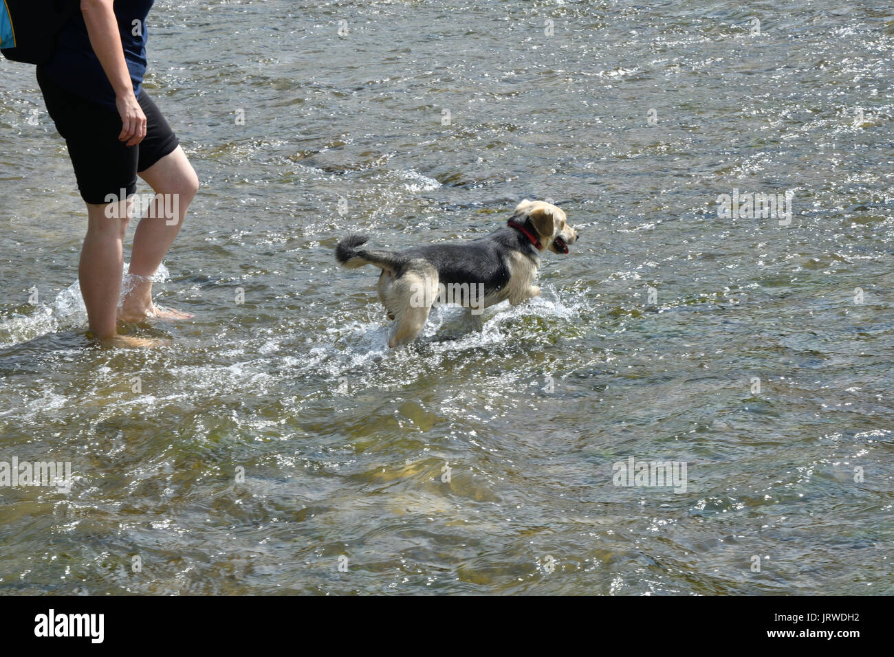 Refreshing walk in river in hot sommer with dog - Stock Image