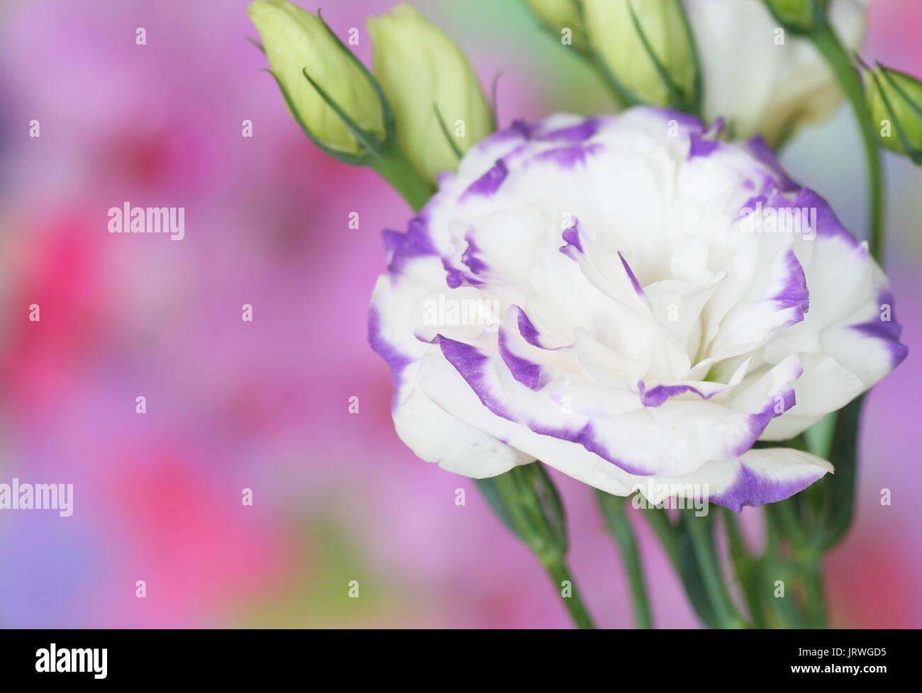 Close-up of  lisianthus flower - Stock Image