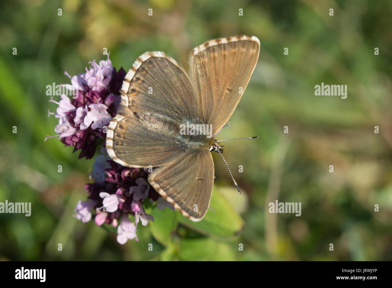 Chalkhill blue butterfly (Polyommatus coridon) on wildflowers at Stockbridge Down in Hampshire, UK Stock Photo