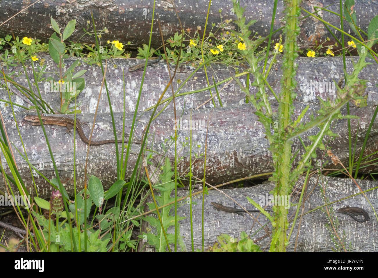 Adult and juvenile common lizards, also called viviparous lizards (Zootoca vivipara) basking on a log pile Stock Photo