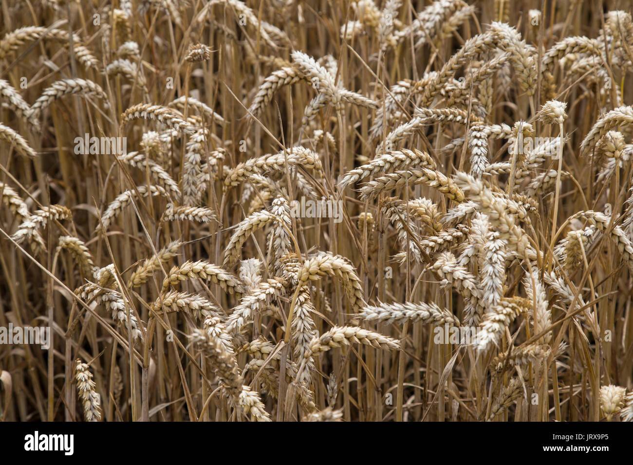 Close up view of ears of wheat in a cornfield - Stock Image