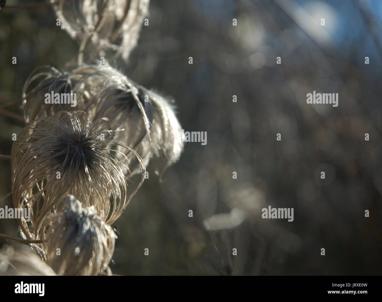 dry blossoms of a clematis - Stock Image