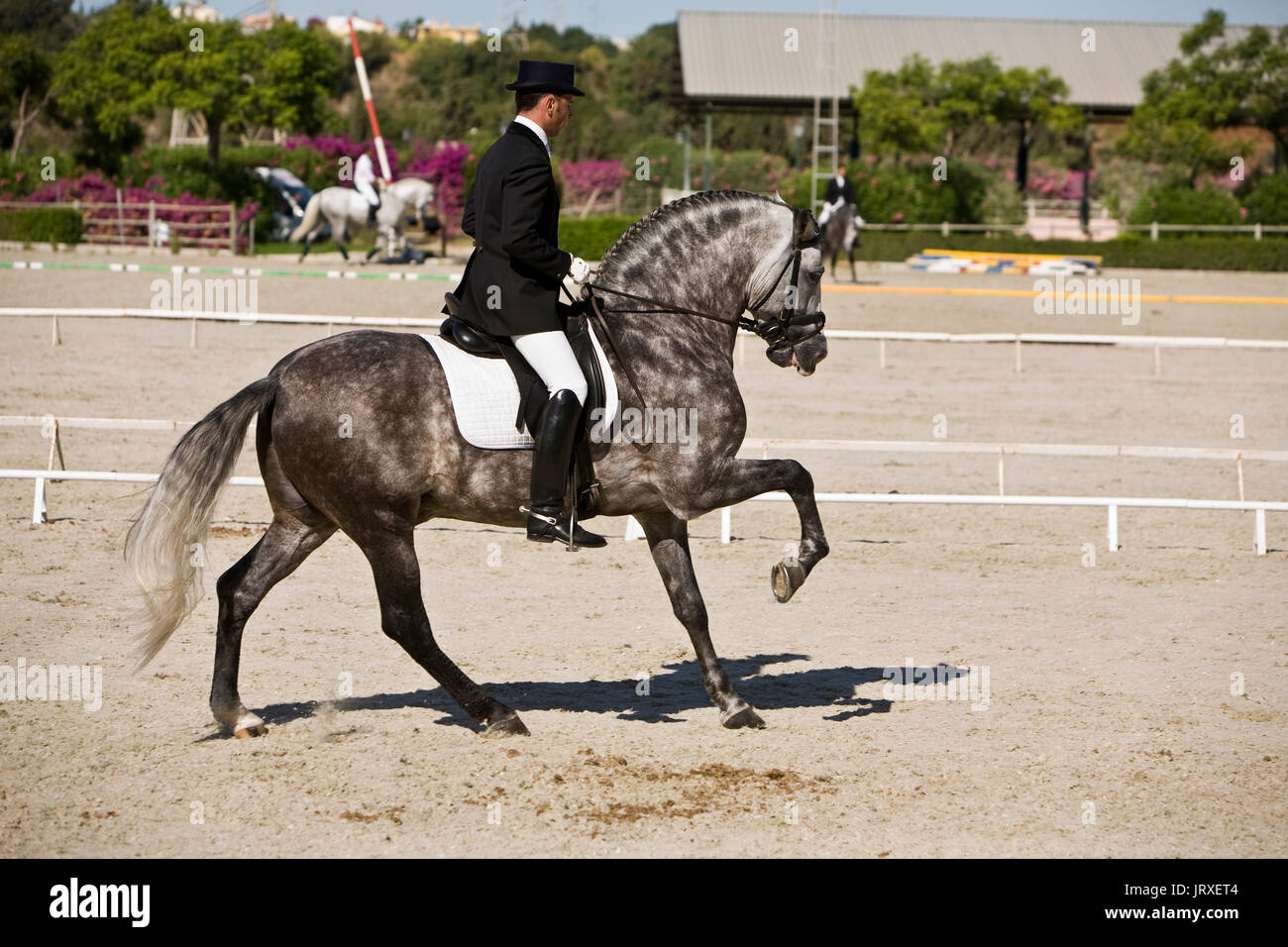 Training during an exercise of equestrian morphology of horses of pure Spanish race in Estepona, Malaga province, Andalusia, Spain - Stock Image
