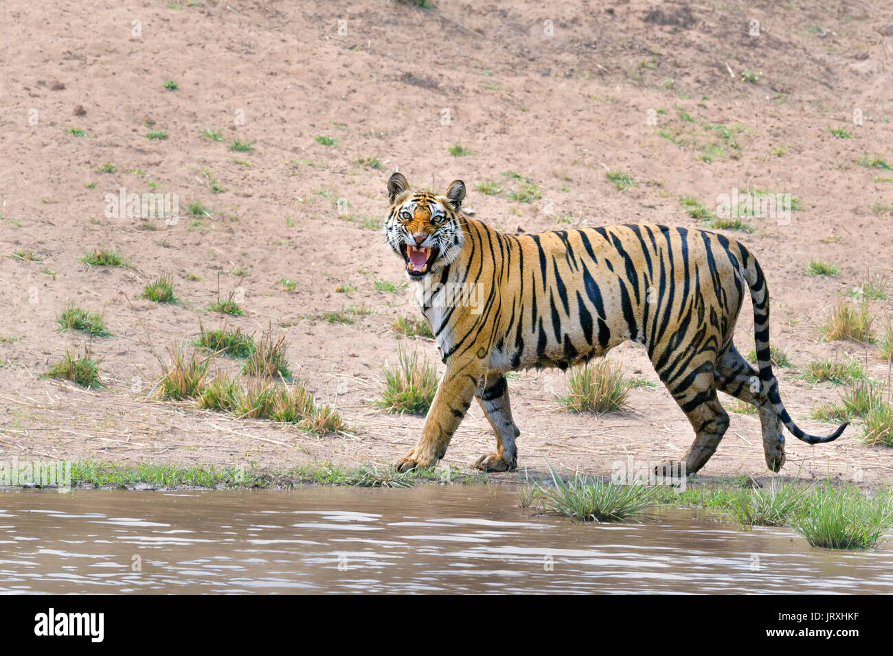 Royal Bengal Tiger or Panthera Tigris or Indian Tiger doing Flhemen response at Bandhavgarh National Park,Madhyapradesh India. - Stock Image