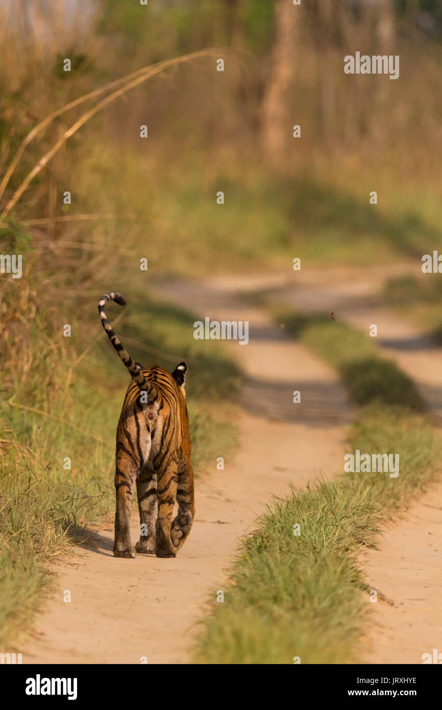 Bengal Tiger or Panthera tigris tigris or Indian Tiger walking on the road at Jim Corbett National Park in Uttarakhand, India. - Stock Image