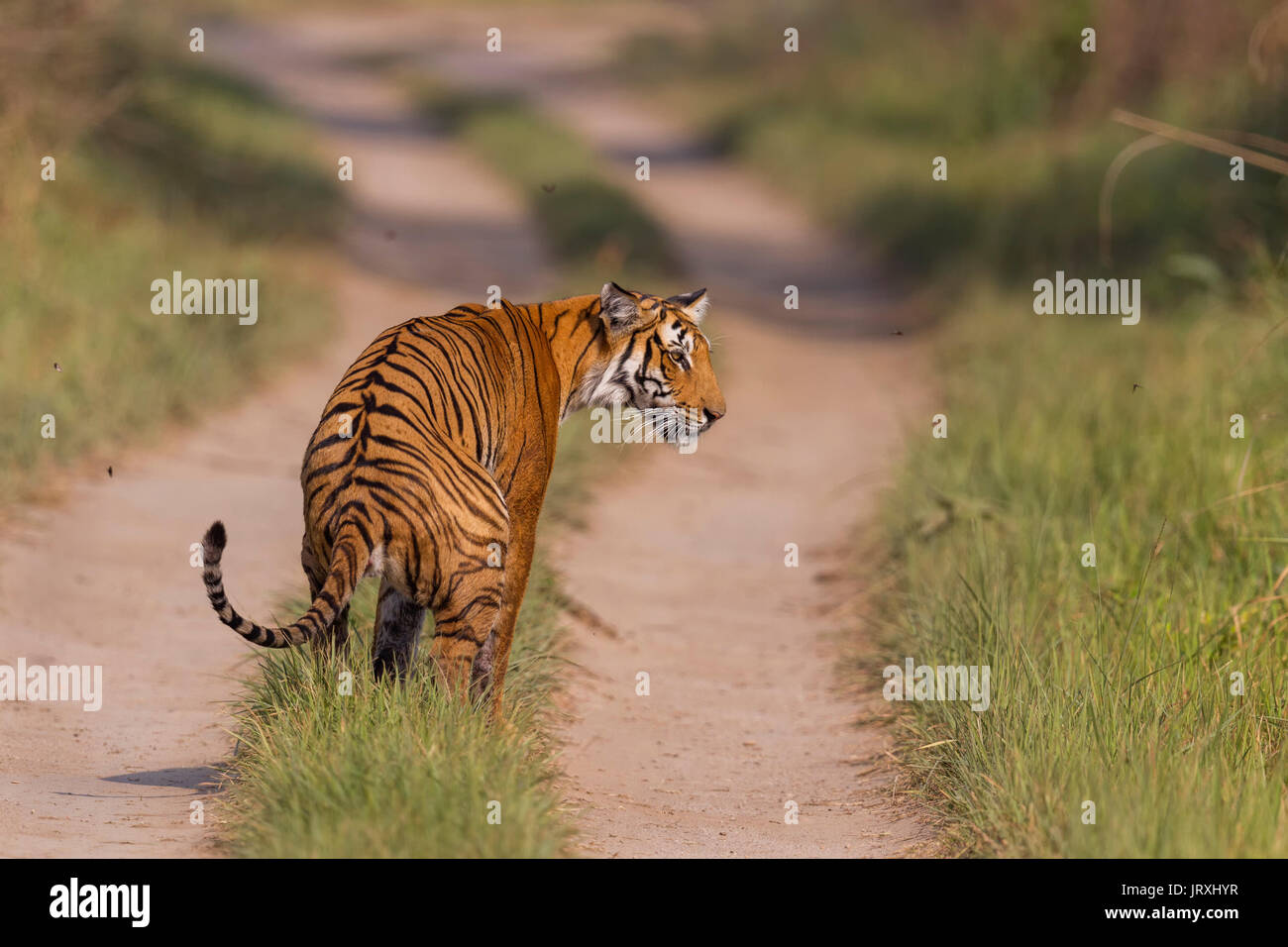 Royal Bengal Tiger or Panthera tigris tigris or Indian Tiger in Jim Corbett National Park in Uttarakhand, India. - Stock Image
