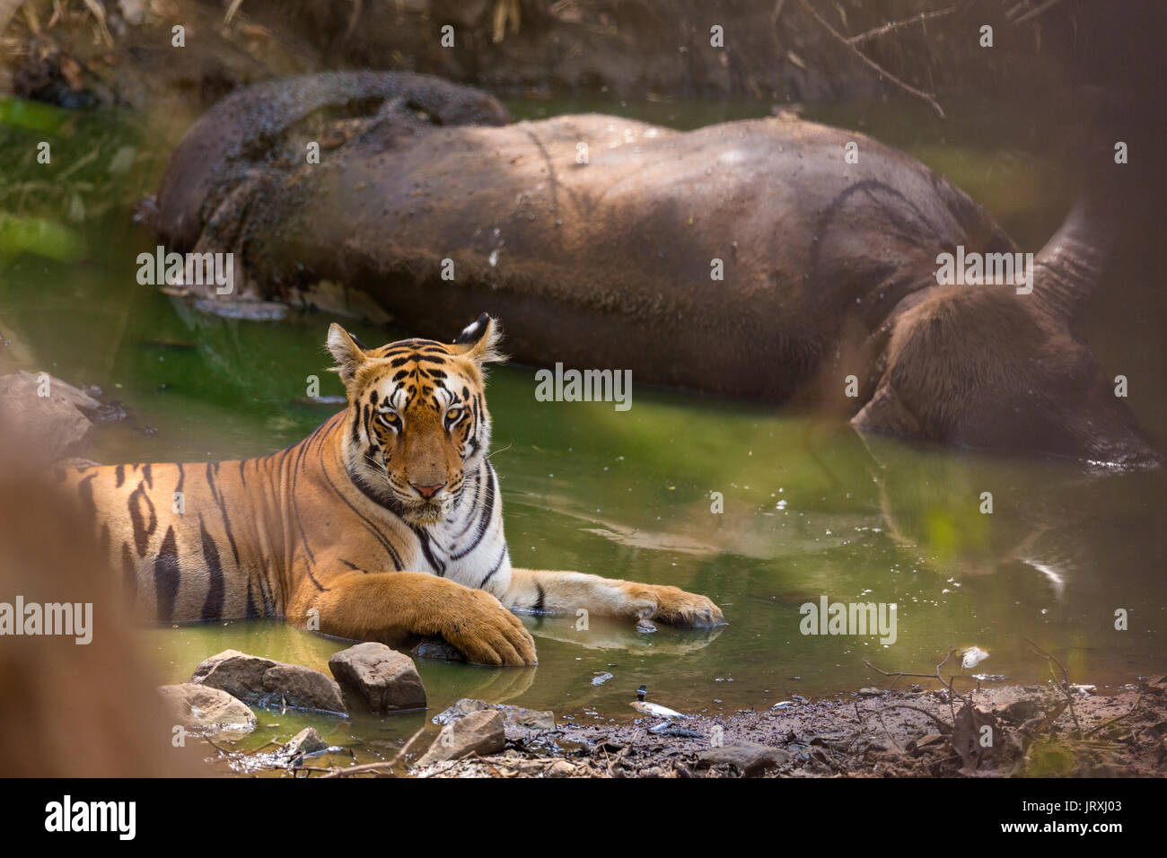 Royal Bengal Tiger or Panthera tigris tigris or Indian Tiger with Kill relaxing on the water body in Tadoba National park, Maharashtra - Stock Image
