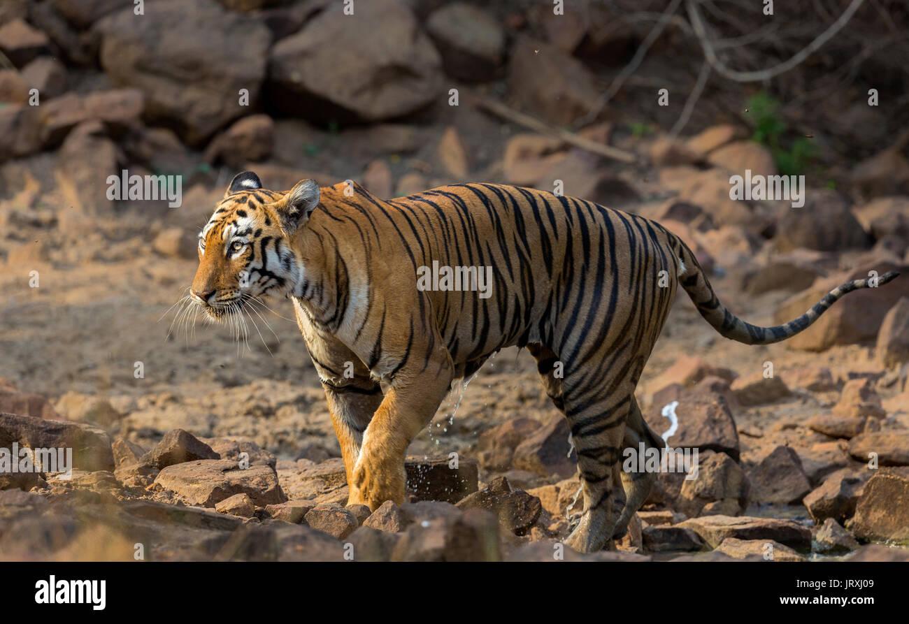 Royal Bengal Tiger or Panthera tigris tigris or Indian Tiger near the water body in Tadoba National park, Maharashtra India - Stock Image