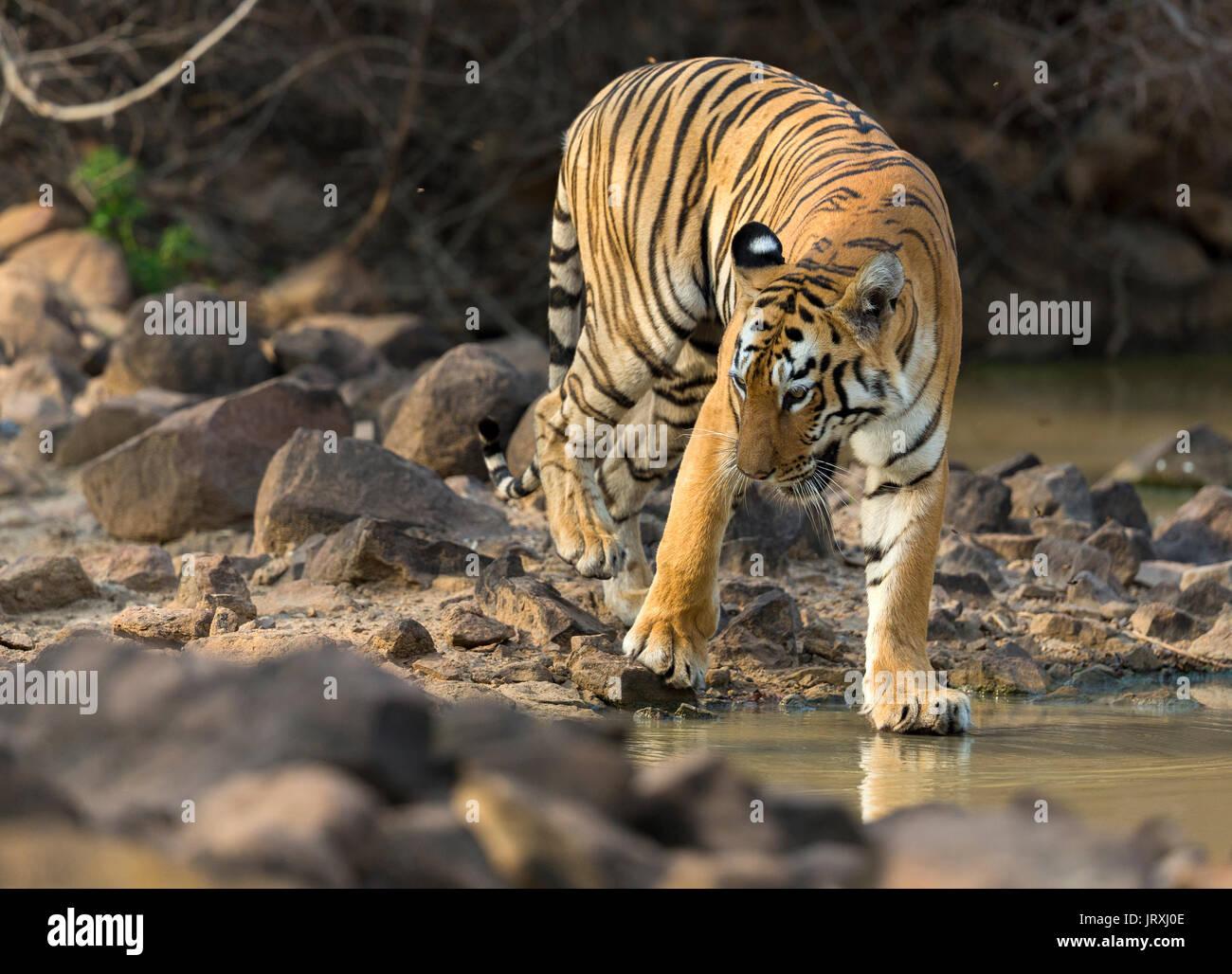 Royal Bengal Tiger or Panthera tigris tigris or Indian Tiger near the water in Tadoba National park, Maharashtra - Stock Image