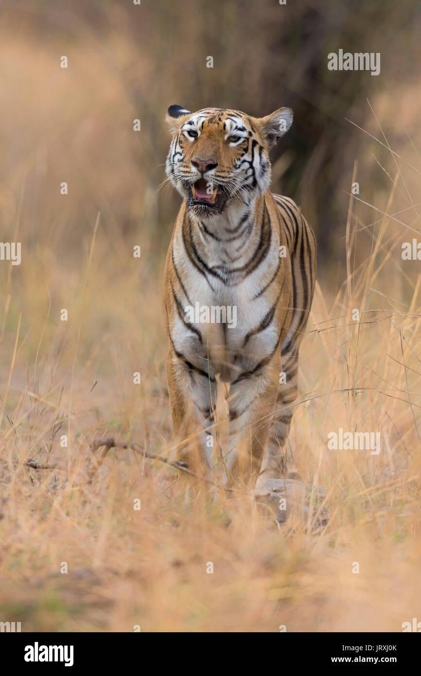 A Royal Bengal Tiger or Indian Tiger or Panthera Tigris Tigris roaming in Tadoba National Park Maharashtra India. Stock Photo