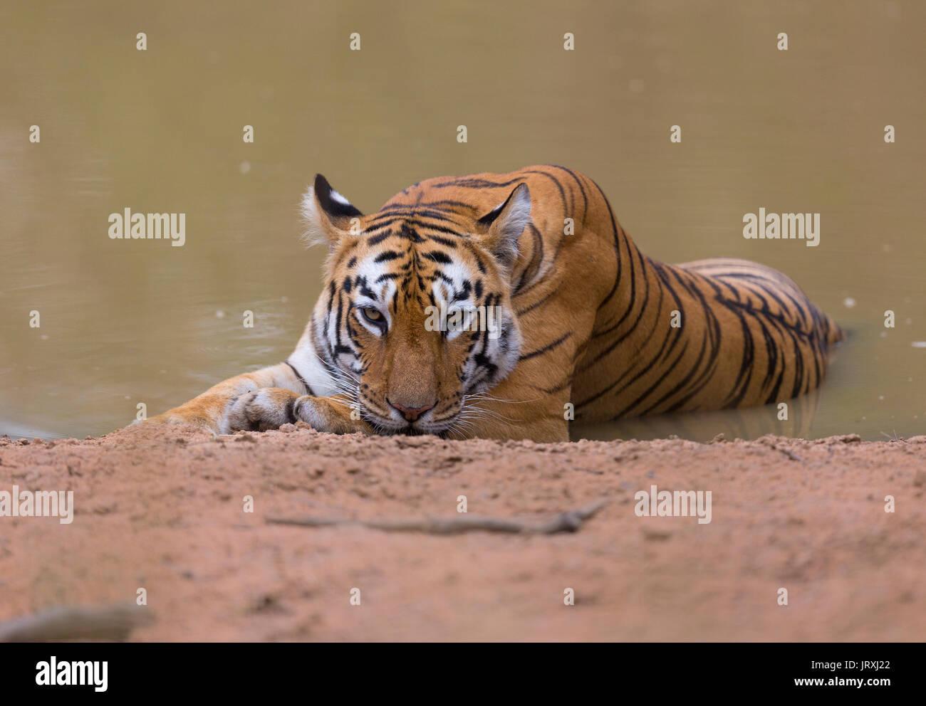 Royal Bengal Tiger or Panthera tigris tigris or Indian Tiger relaxing on the water in Tadoba National park, Maharashtra, India - Stock Image