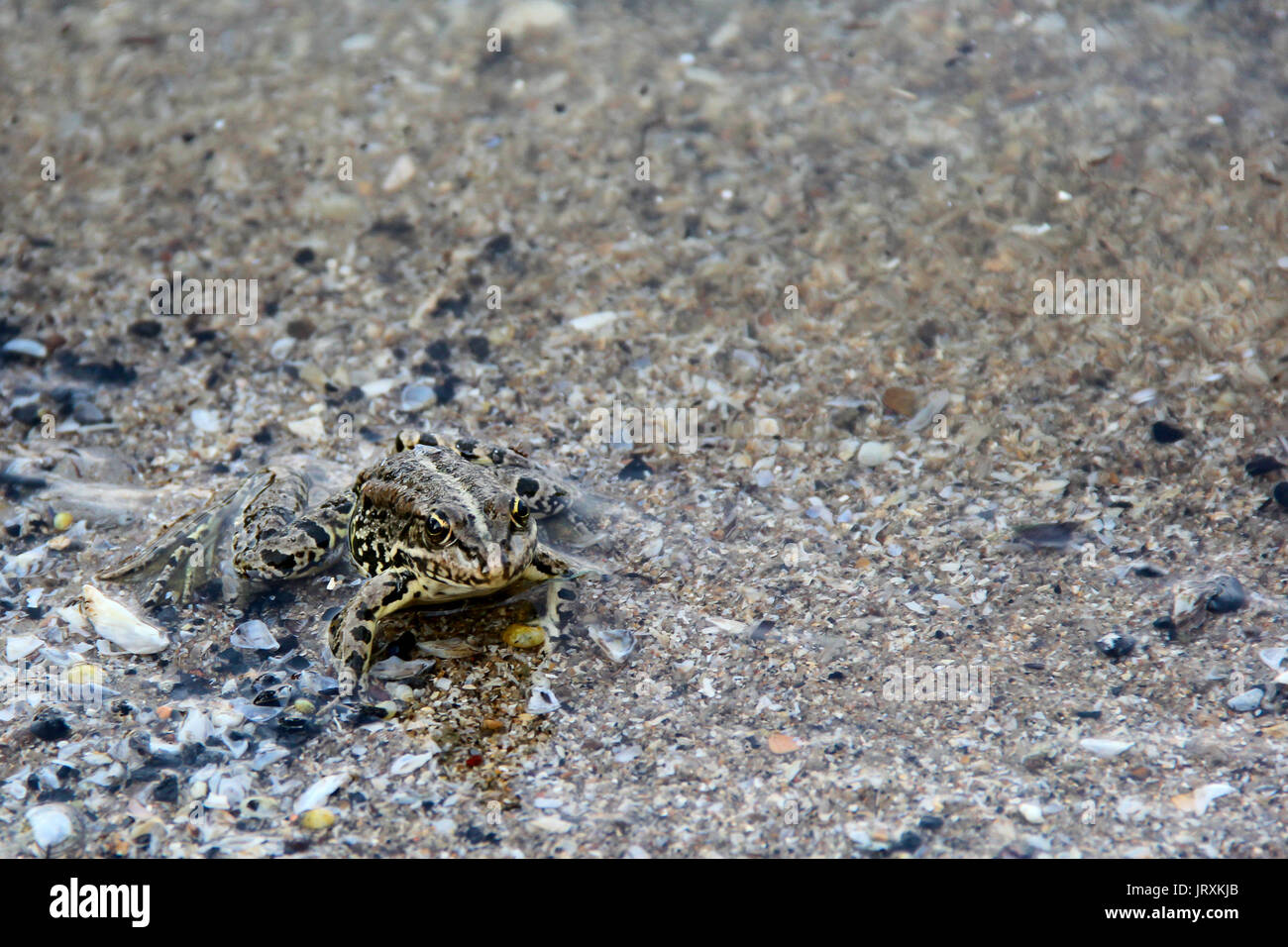 frog floating on the water. photo - Stock Image