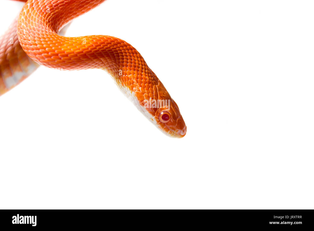 Cute corn snake female on a tree isolated on white, hypo fire morph - Stock Image