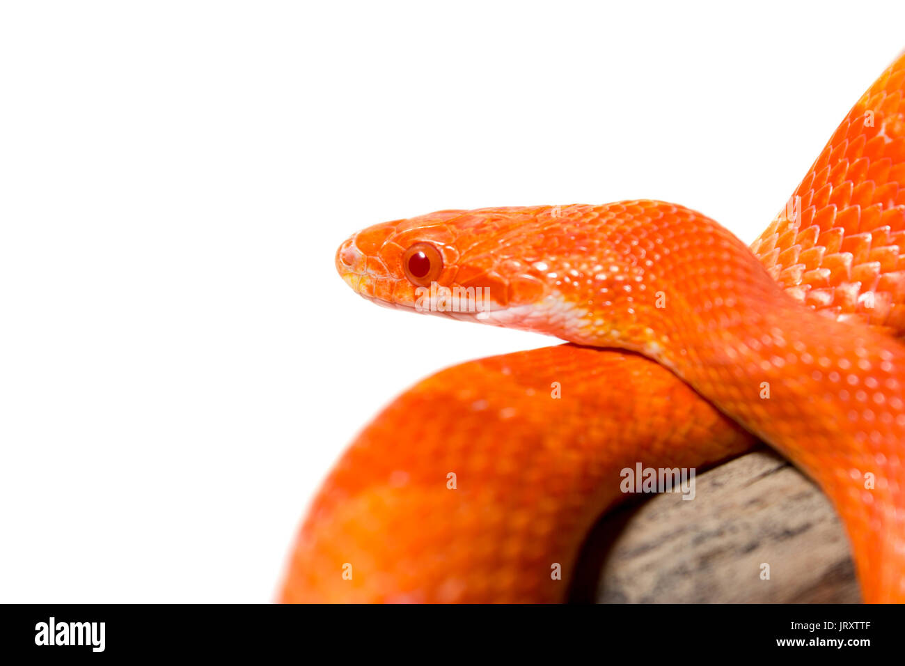 Cute Corn Snake Female On A Tree Isolated On White Hypo Fire Morph Stock Photo Alamy,How To Get Rid Of Flies In Potted Plants