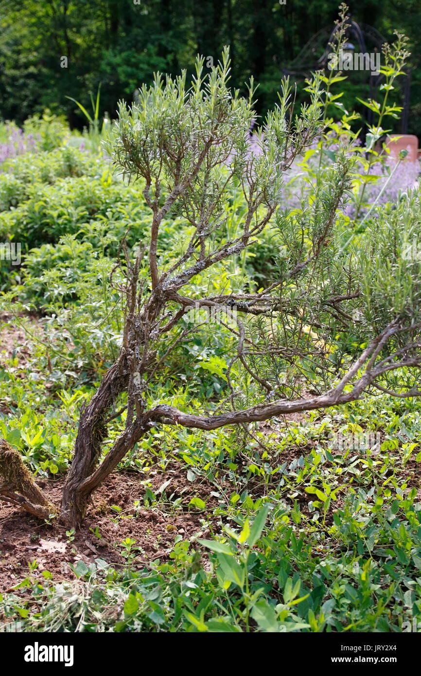 Rosmarin Busch Strauch Im Garten Stock Photo 152415036 Alamy