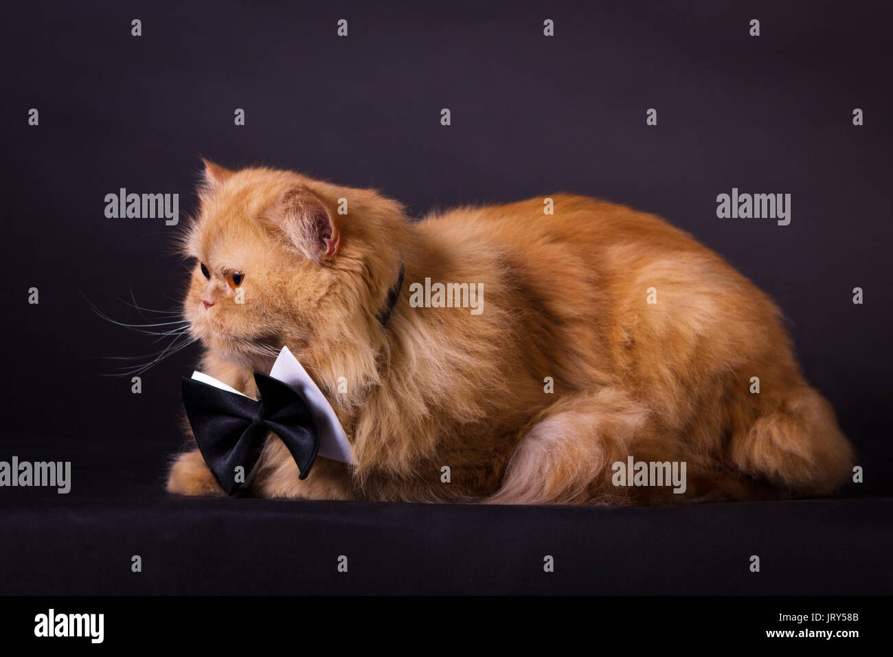 Orange persian cat with black bow tie on black background - Stock Image