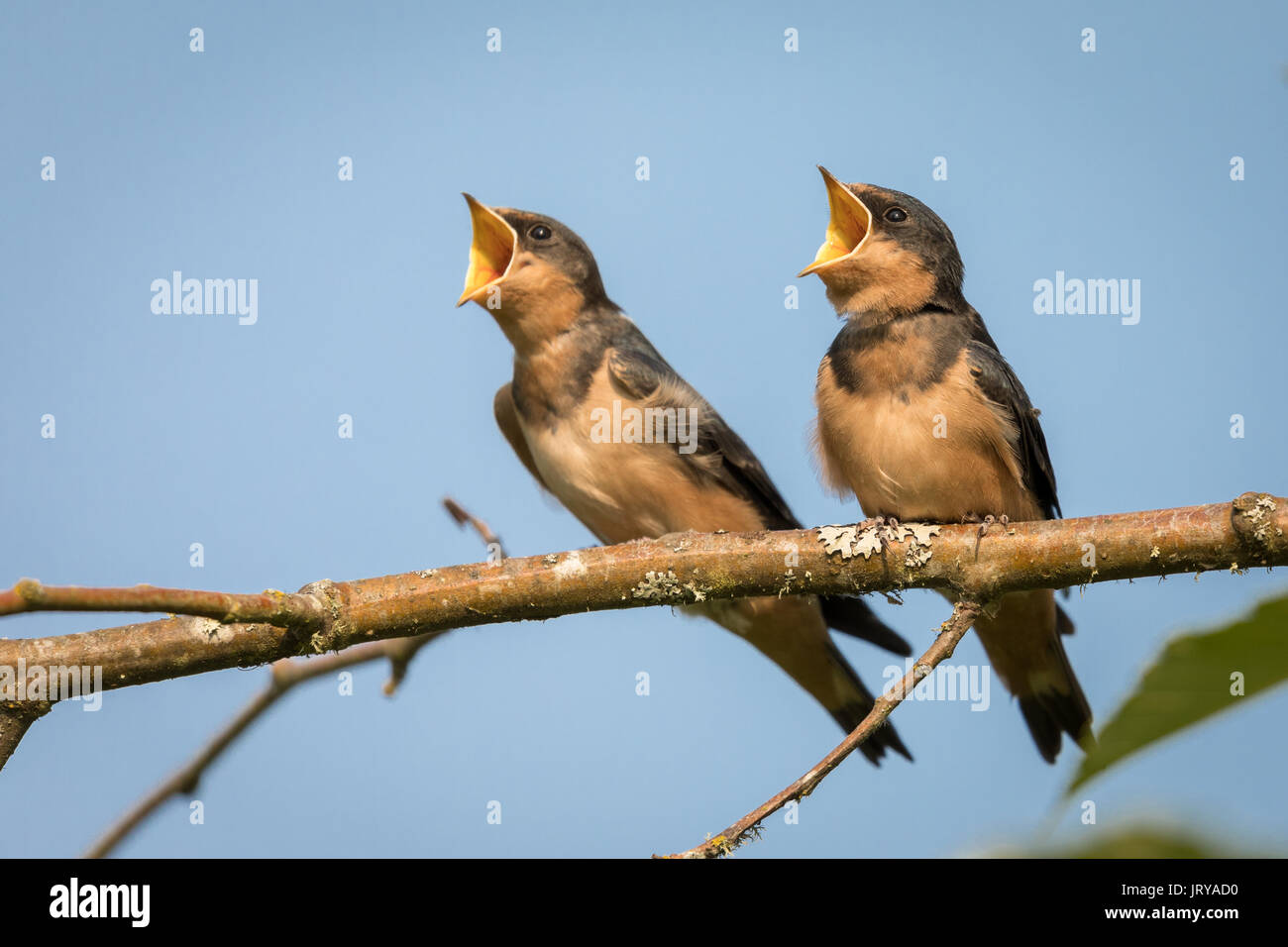 Young, fledgling Barn Swallows (Hirundo rustica) gape as they wait to be fed. - Stock Image