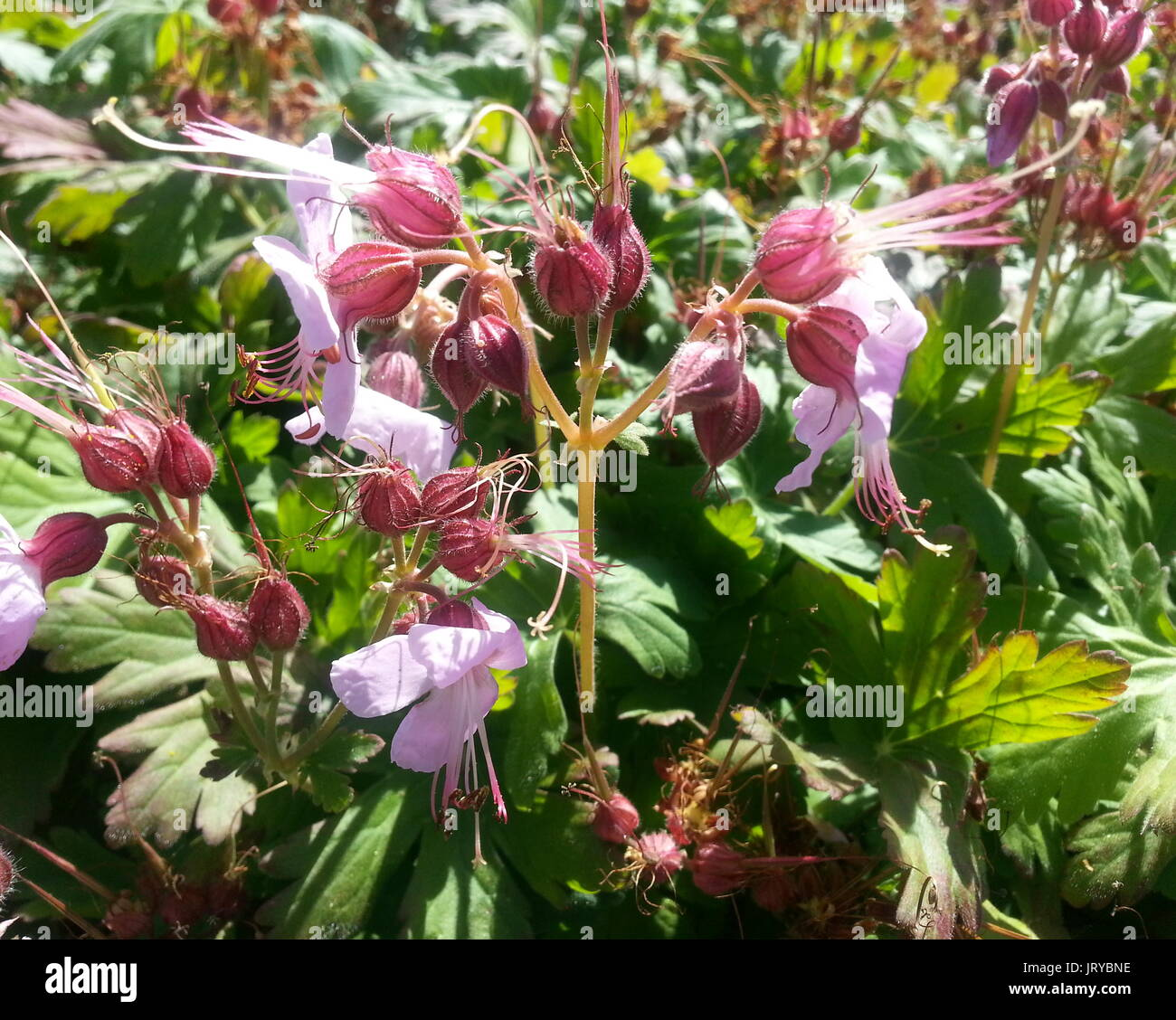 Small Pink Flowers - Stock Image