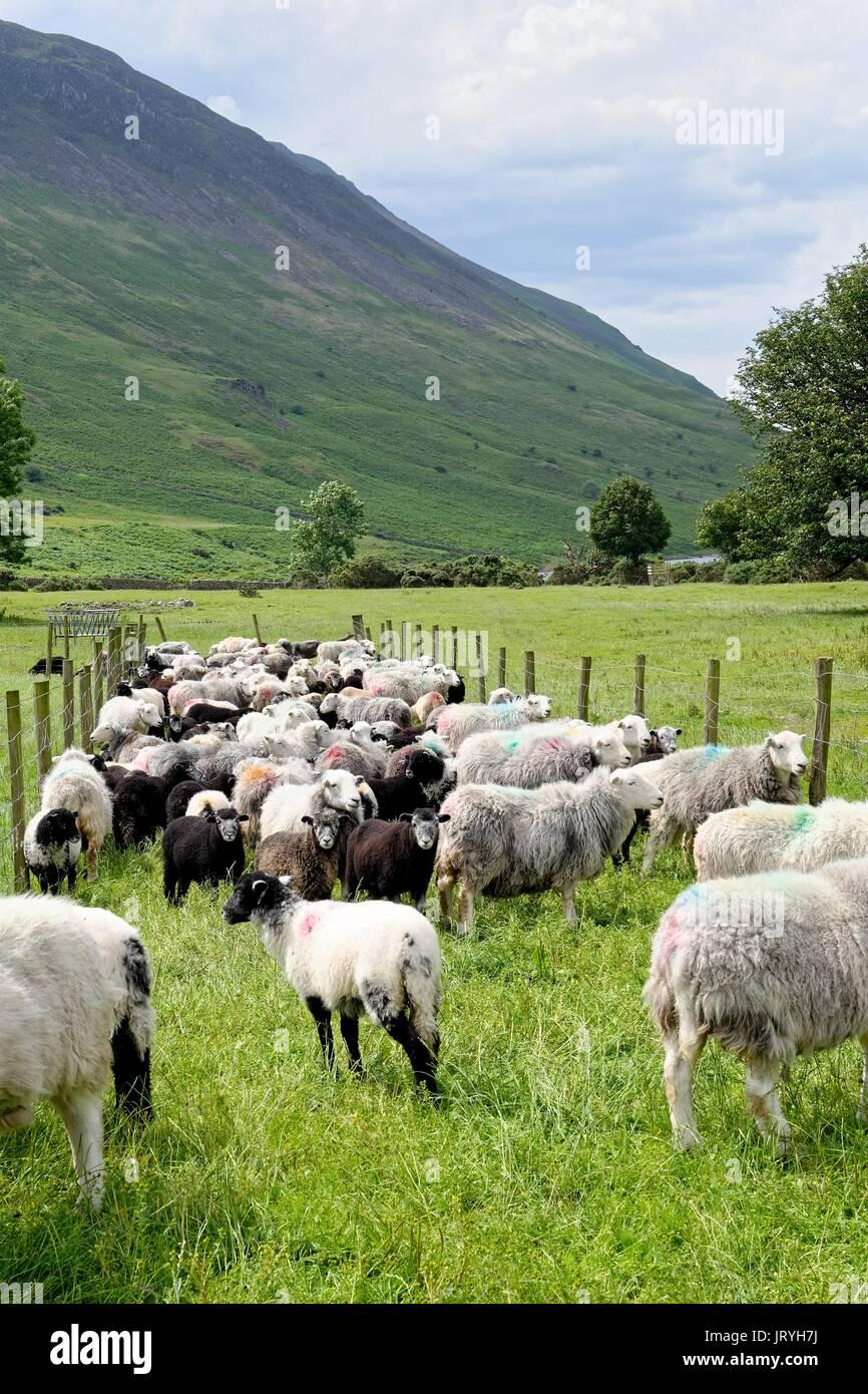 Flock of Herdwick sheep at Wasdale Head Lake District Cumbria UK - Stock Image