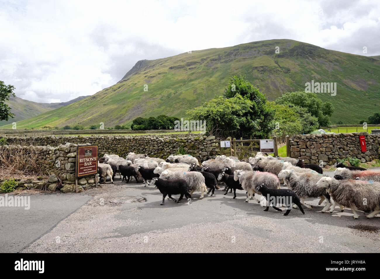 Flock of Herdwick sheep at Wasdale Head Lake District Cumbria UK Stock Photo