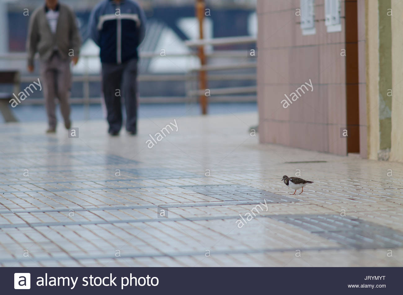 Ruddy turnstone (Arenaria interpres) in a avenue. Playa de Arinaga. Agüimes. Gran Canaria. Canary Islands. Spain. - Stock Image